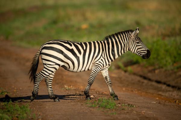 plains zebra walks across track in