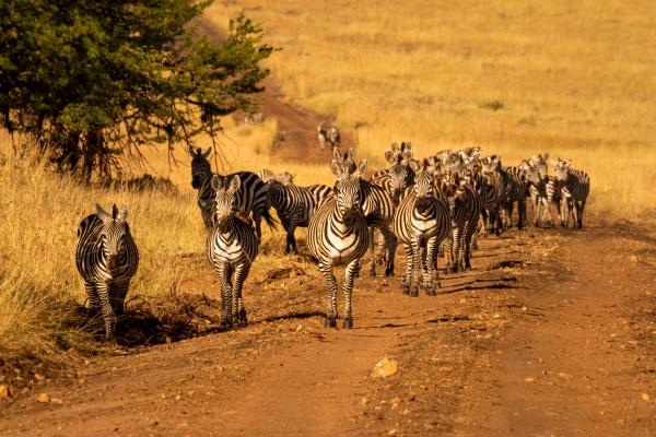 plains zebras walk towards camera on
