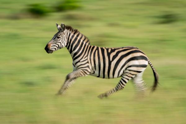 slow pan of plains zebra crossing