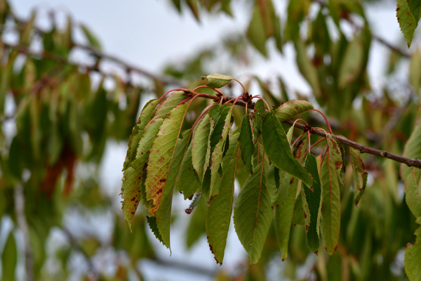 a branch of a cherry tree