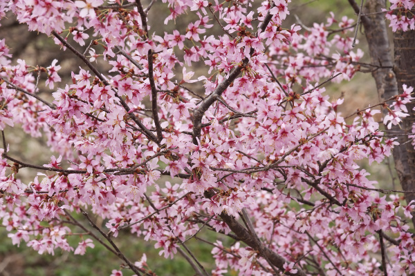okame flowering cherry tree in blossom