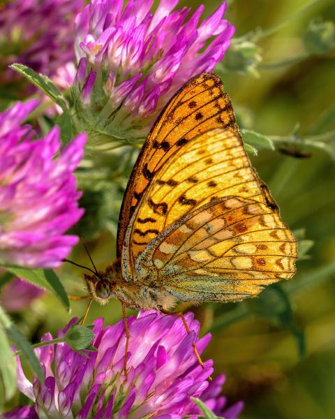 orange day butterfly argynnis paphia
