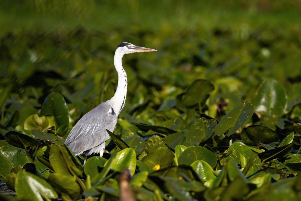 majestic grey heron standing on swamp