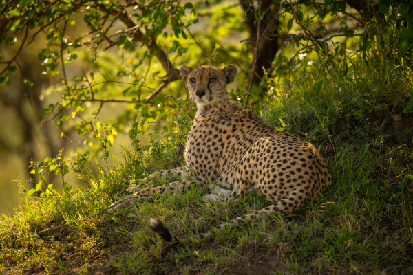 cheetah lying on grassy bank under