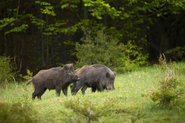 two wild boars digging on a