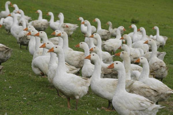 white geese walking on green grass