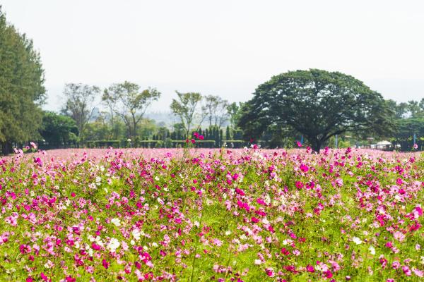 pink cosmos flowers in field