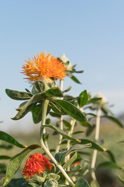 safflower has begun to bloom