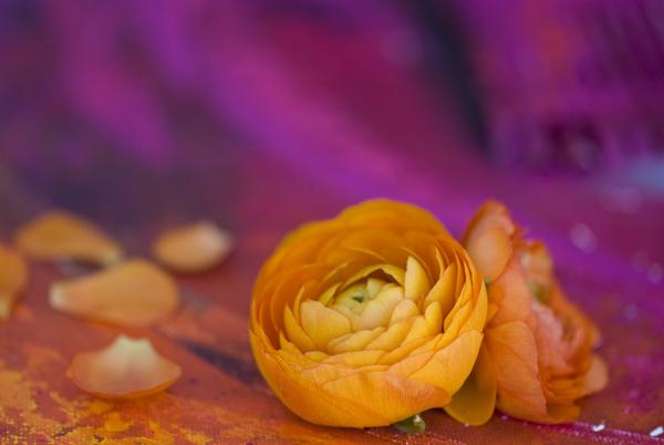 colorful ranunculus flower still life