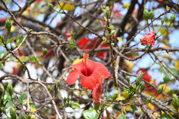 red hibiscus blossom in the province