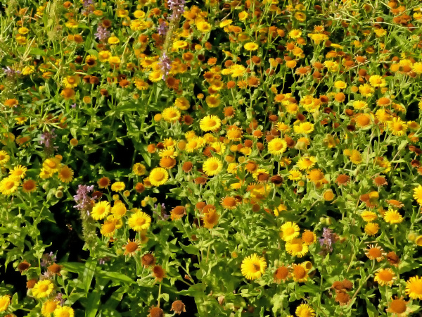 the common fleabane medicinal herb with
