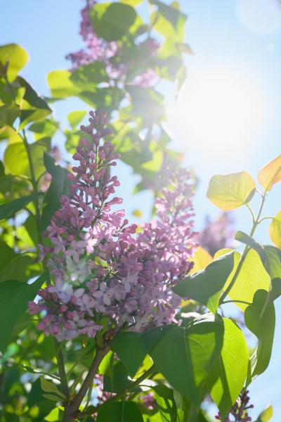 lilac blossom against sky