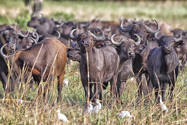 democratic republic of congo herd of