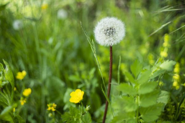 italy close up of single dandelion