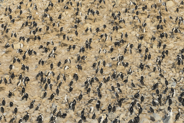 aerial view of imperial shag leucocarbo