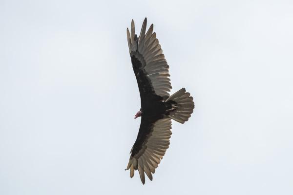 turkey vulture cathartes aura