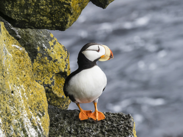 adult horned puffin fratercula corniculata on