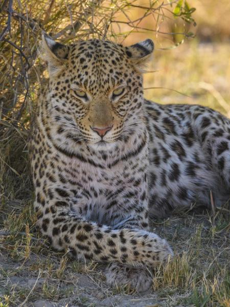 female leopard panthera pardus resting in