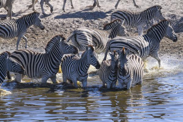 burchells zebra equus quagga burchellii drinking