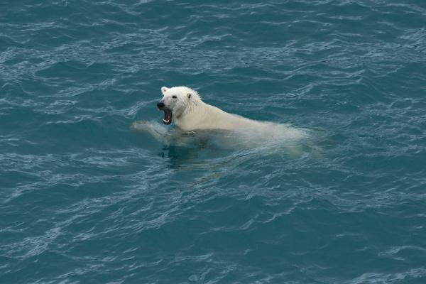 polar bear swimming nunavut and northwest