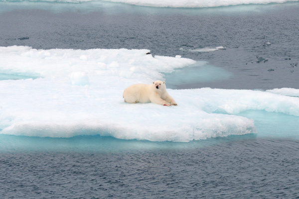 polar bear with bloodied face on