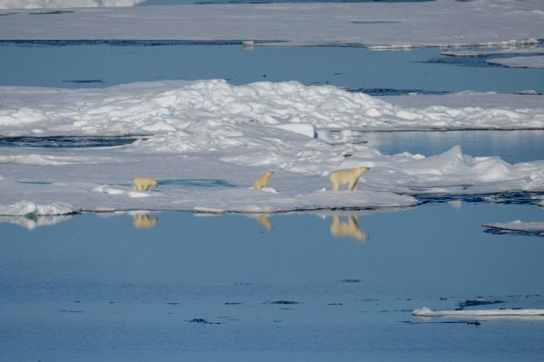 female polar bear and first year