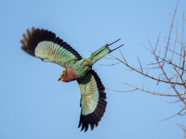 an adult lilac breasted roller coracias