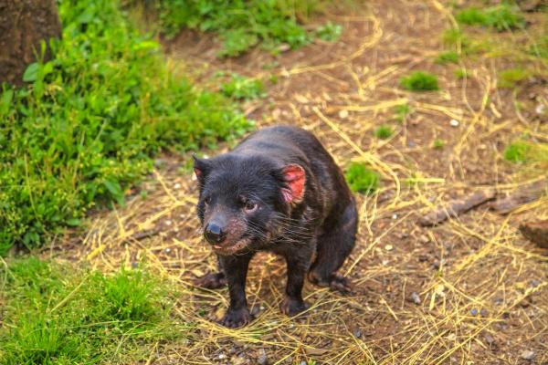 front view of tasmanian devil