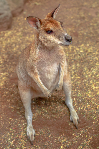 wallaby on the ground outdoors new