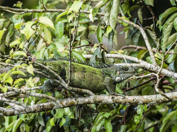 an adult green iguana iguana iguana