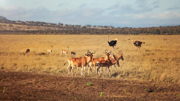 small herd of hartebeest kongoni