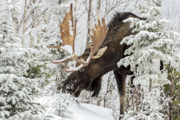 a buill moose alces americanus