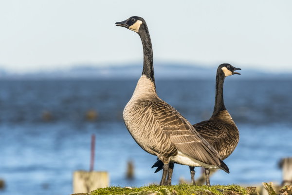 two canada geese branda canadensis