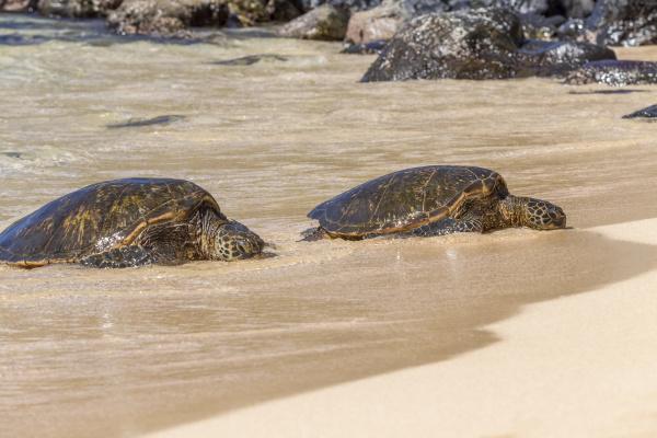 endangered green sea turtles chelonia