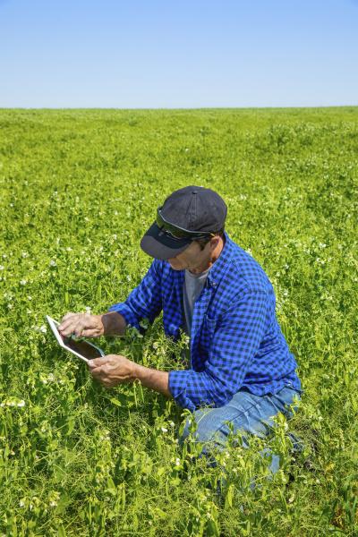 farmer crouching in a pea field