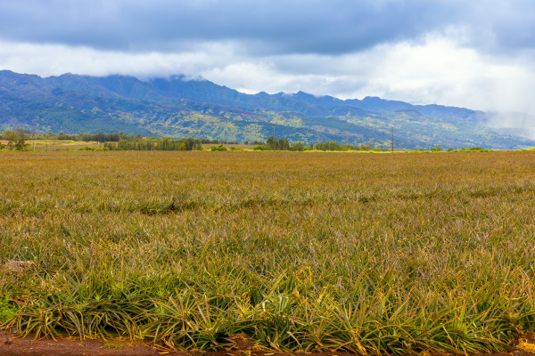 pineapple crop oahu hawaii united states