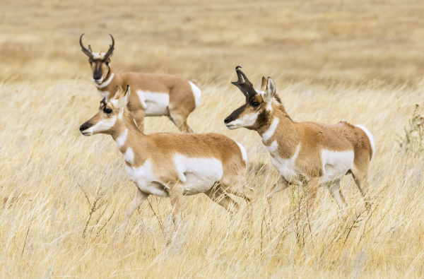 pronghorn bucks and doe antilocapra americana