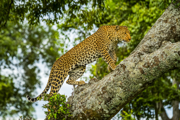 african leopard panthera pardus