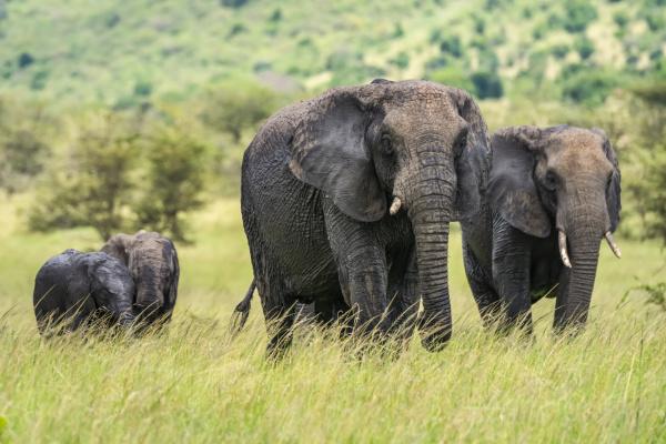 two adult african bush elephants loxodonta