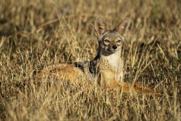 portrait of black backed jackal canis