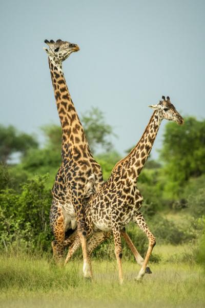 male masai giraffe giraffa camelopardalis