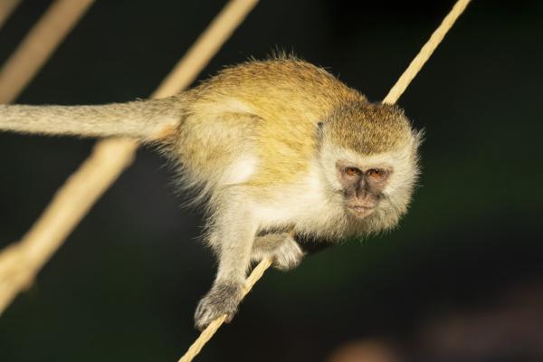 close up portrait of vervet monkey
