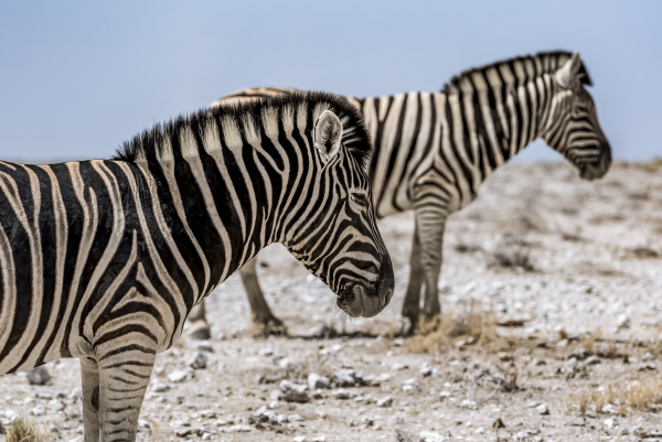 herd of plains zebra equus quagga