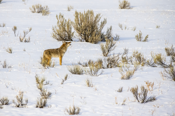 lone coyote canis latrans