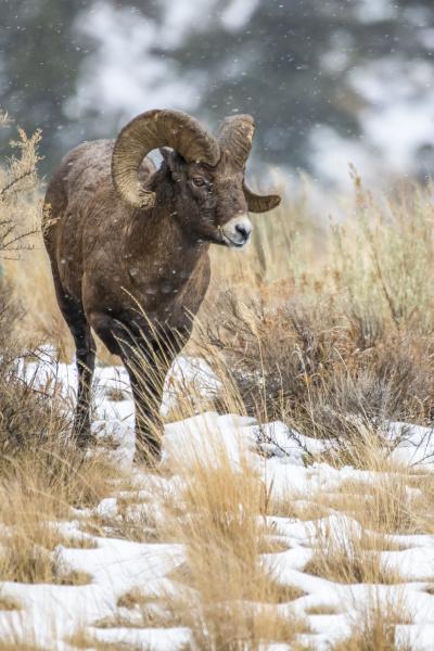bighorn sheep ram ovis canadensis approaches