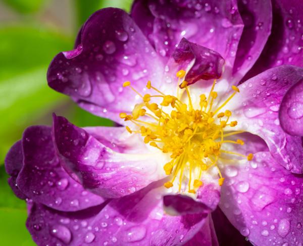 wet purple rambler rose blossom