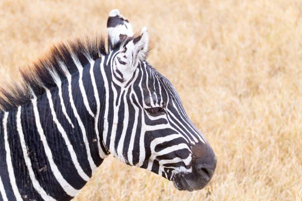 zebra close up ngorongoro conservation area