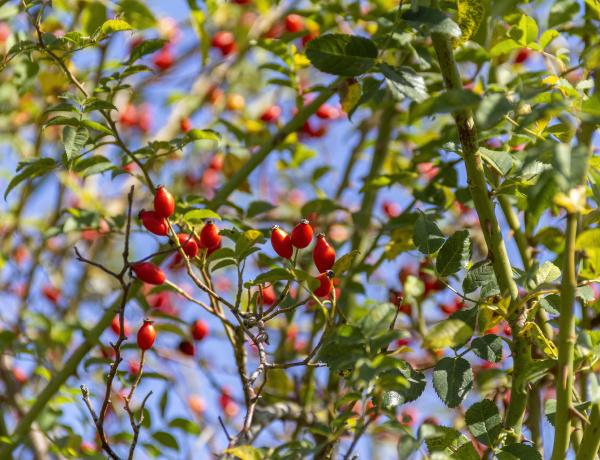 dog rose fruits