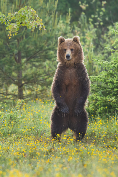 majestic brown bear standing upright on