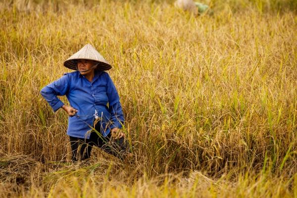 a farmer in rice field in